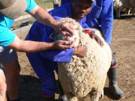 Strong teeth and thick wool promises a healthy new generation of wool-producing sheep